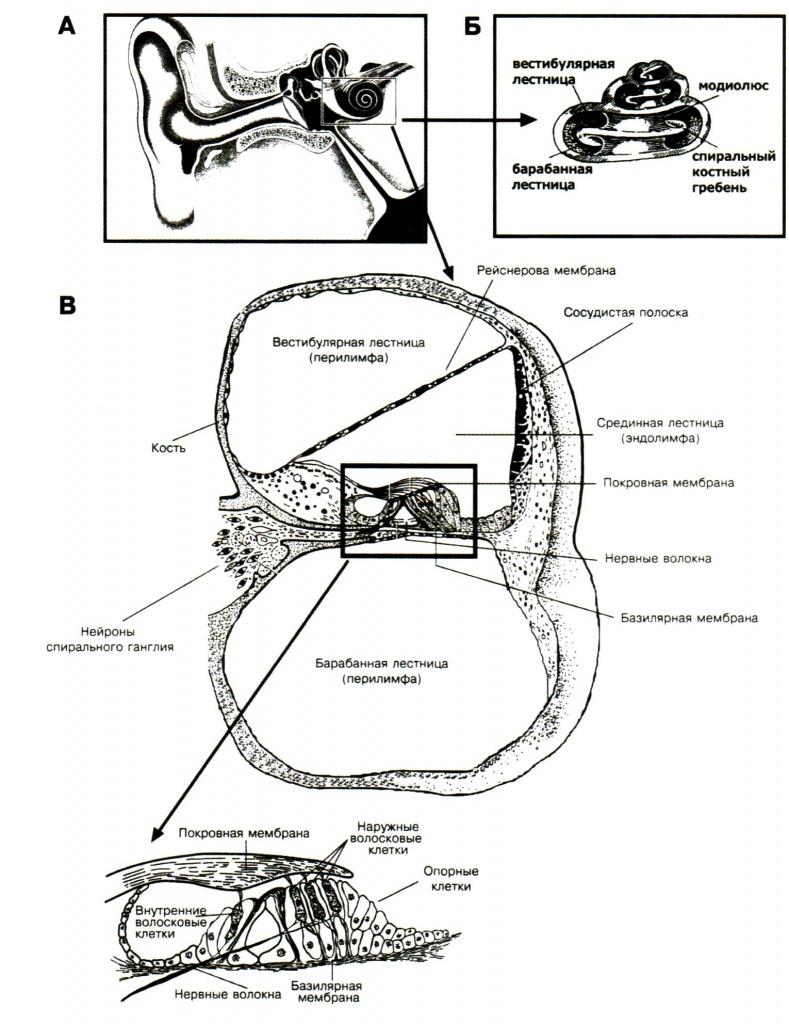 Мембрана базилярная
